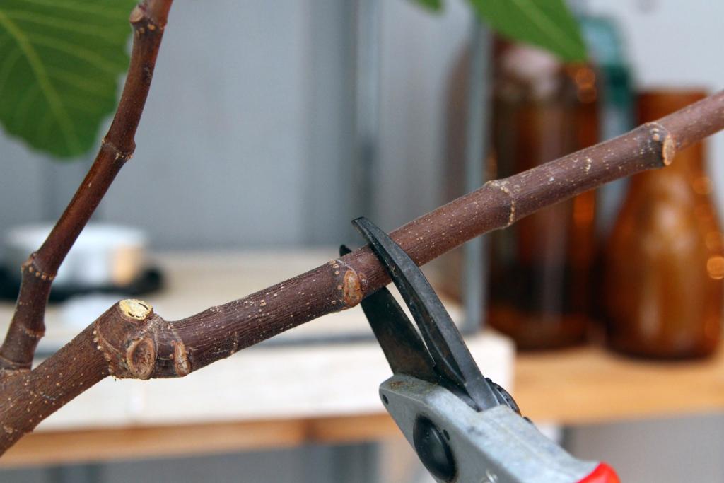 Sådan tager du stiklinger af figen!