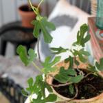 Vinteropbevaring af dine planter