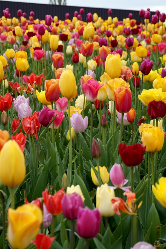 10 spændende fakta om tulipaner