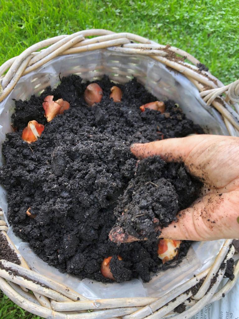 dyrke blomsterløg i potter