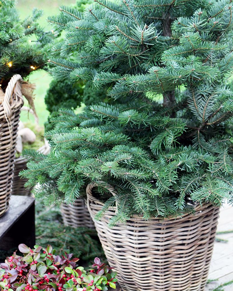 Grantræ i potte