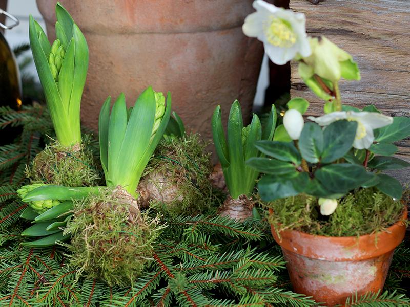 Højt elskede hyacinter