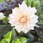 Dahlia – dyrke og vække til live!