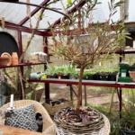 Har du også et oliventræ med tørre grene?